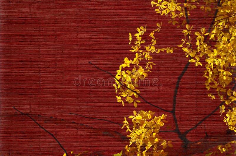 Flor da árvore de chuveiro dourado no vermelho fotos de stock