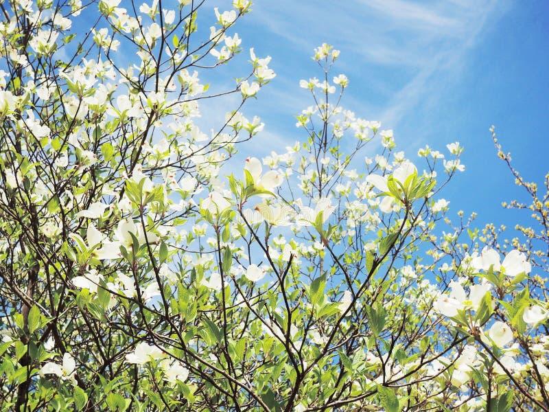 Flor da árvore de corniso fotografia de stock