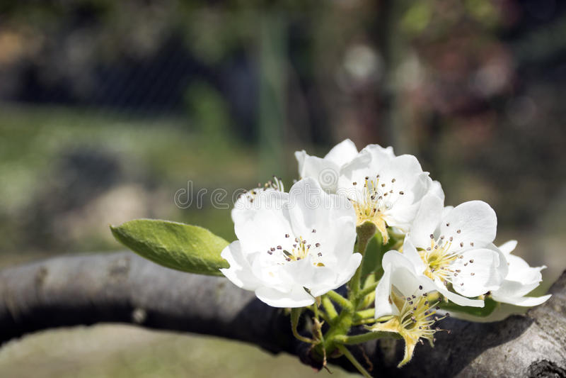 Flor da árvore de pera fotos de stock royalty free