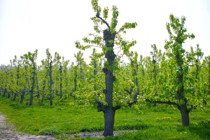 Flor da árvore de pera, estação de mola em pomares de fruto na região agrícola em Bélgica, paisagem de Haspengouw fotos de stock royalty free