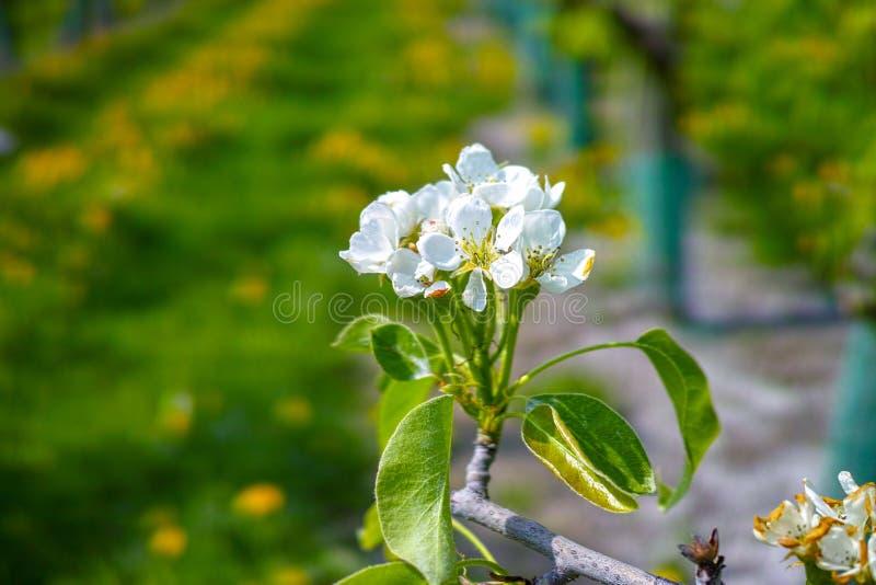 Flor da árvore de pera, estação de mola em pomares de fruto na região agrícola em Bélgica, paisagem de Haspengouw imagens de stock royalty free