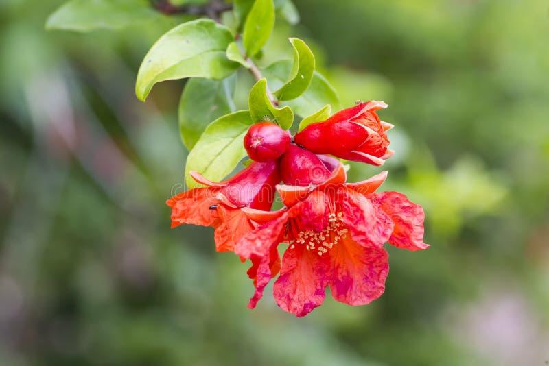 Flor da árvore de romã fotos de stock
