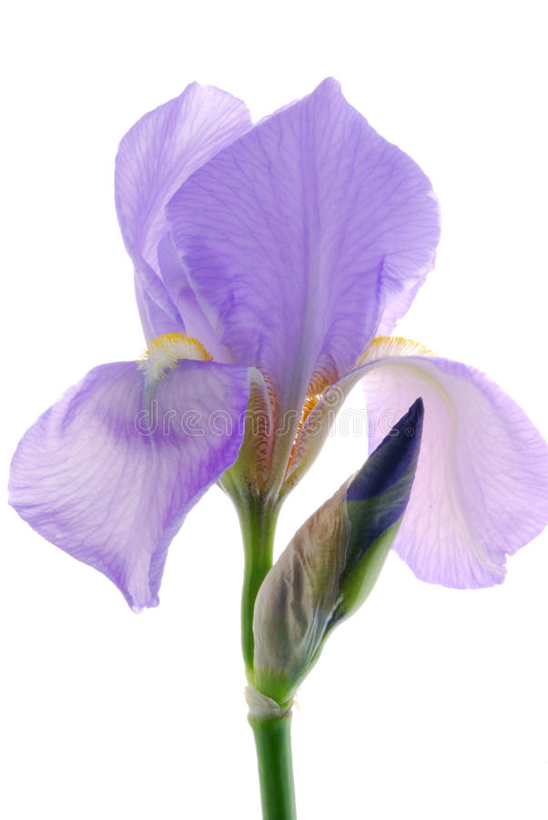 Flor da íris fotos de stock