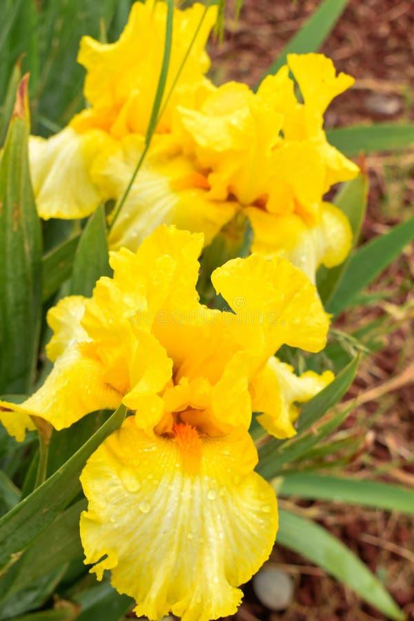 Flor da íris amarela na primavera fotografia de stock royalty free