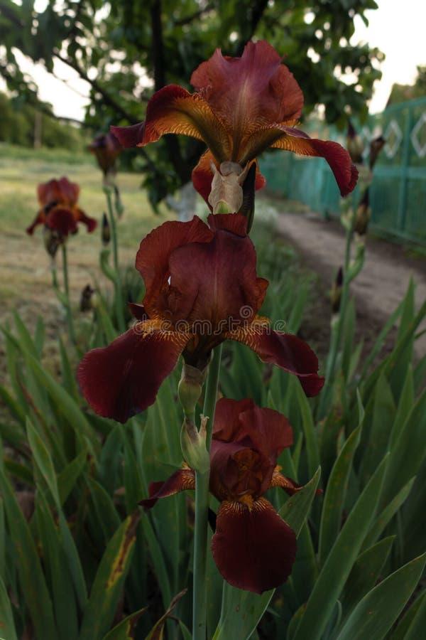 Flor da íris de Borgonha em um close-up da haste em uma cama de flor da casa imagem de stock