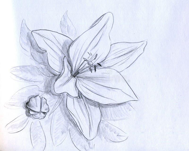 Flor da íris - esboço do lápis ilustração royalty free