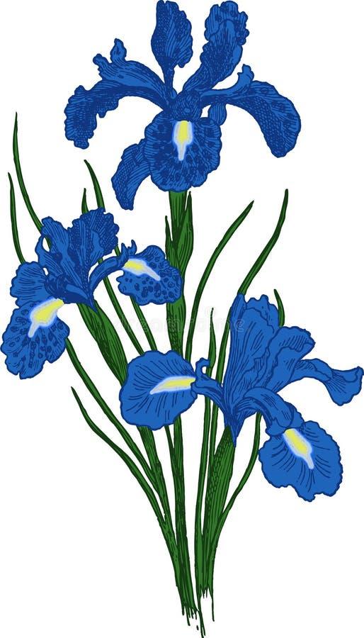 Flor da íris. Vetor ilustração royalty free