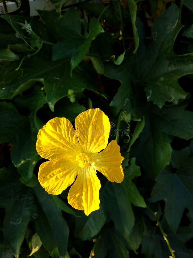 Flor da abóbora fotografia de stock