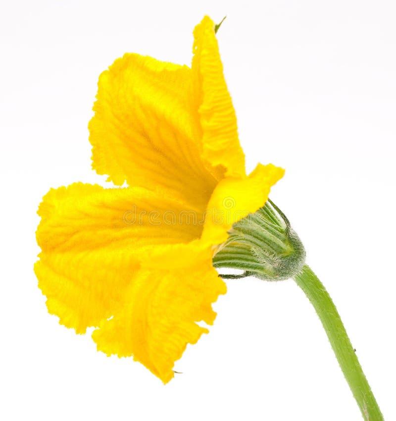 Flor da abóbora imagens de stock