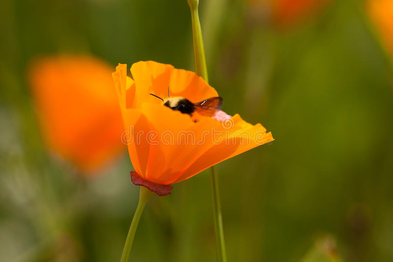 Flor da abelha foto de stock