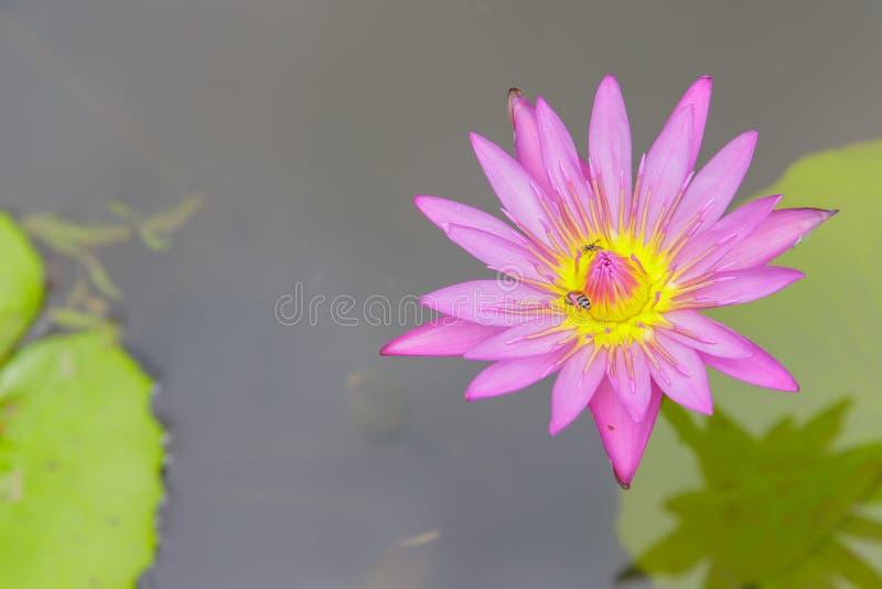 Flor da abelha e da água lilly imagem de stock