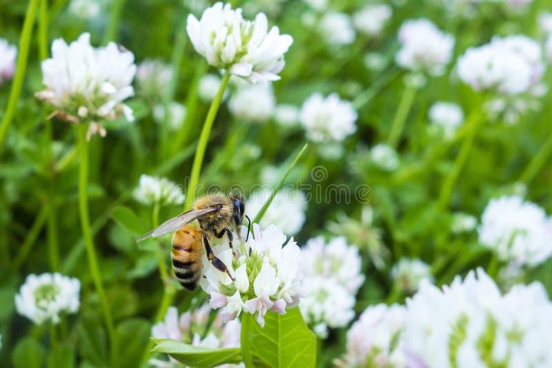 Flor da abelha que recolhe o branco verde do pólen imagens de stock