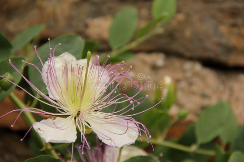 Flor da alcaparra fotografia de stock royalty free