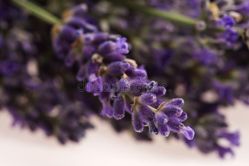 Flor da alfazema imagens de stock