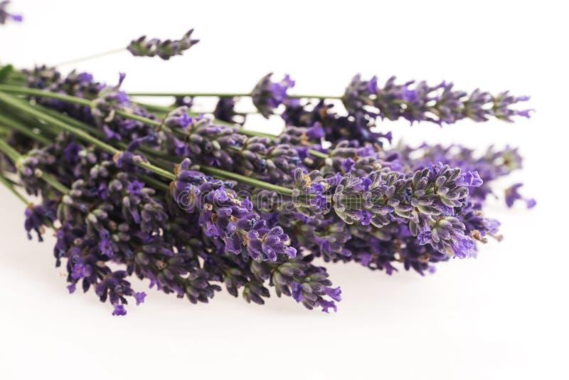 Flor da alfazema foto de stock