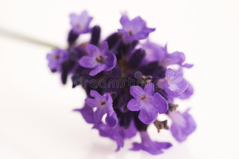 Flor da alfazema imagens de stock royalty free