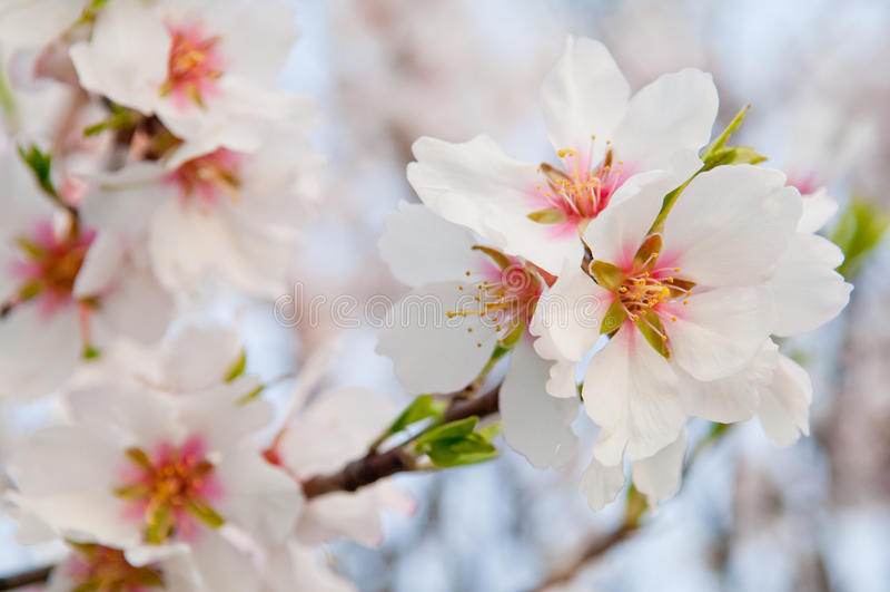 Flor da amêndoa, árvore de amêndoa de florescência em março imagem de stock