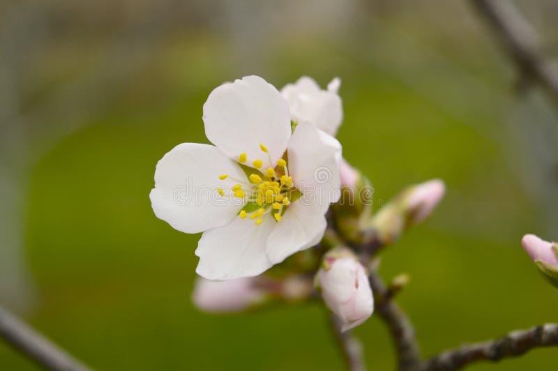 Flor da amêndoa fotografia de stock