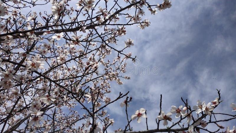 Flor da amêndoa na mola imagens de stock