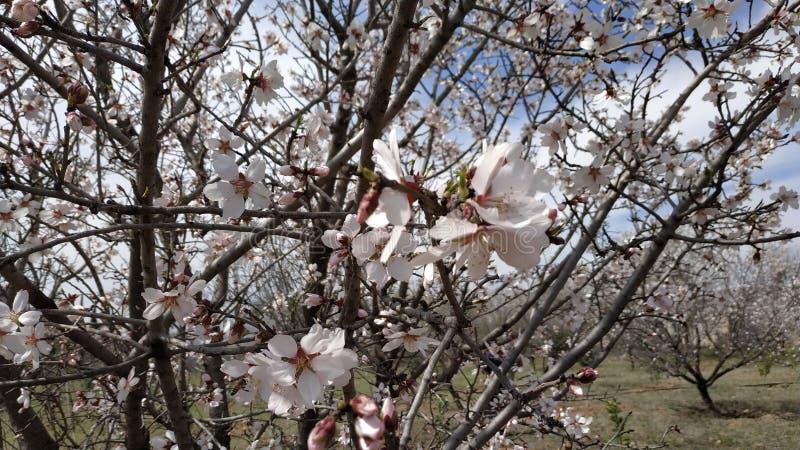 Flor da amêndoa na mola imagem de stock