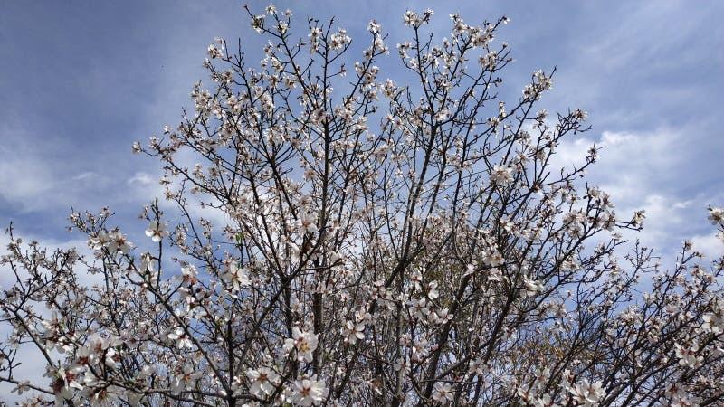 Flor da amêndoa na mola fotos de stock royalty free