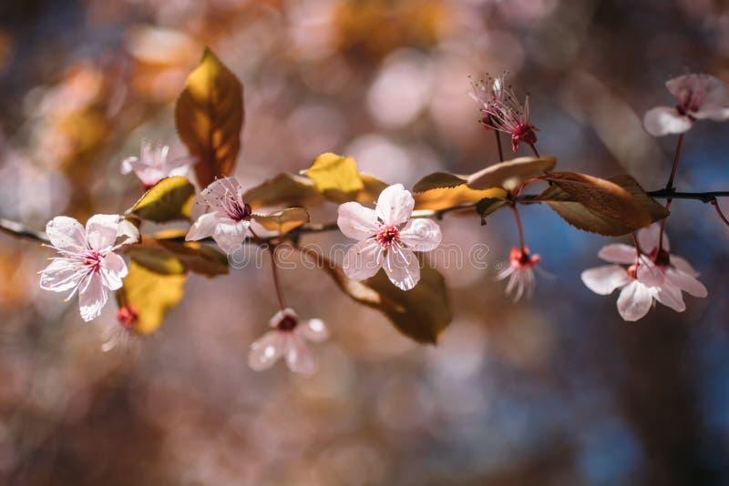 Flor da amêndoa na flor Vista ascendente próxima das flores brancas e cor-de-rosa da amêndoa em um ramo fotografia de stock royalty free