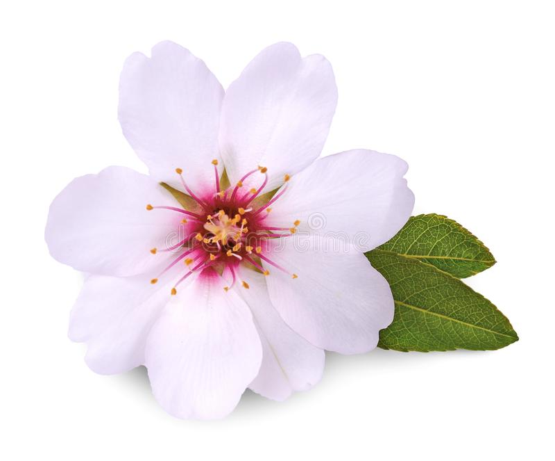 Flor da amêndoa no fundo branco foto de stock