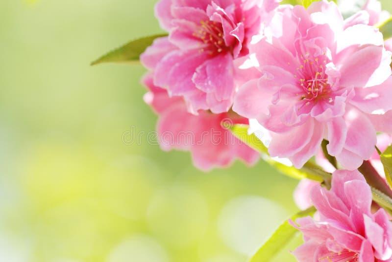 Download Flor da ameixa imagem de stock. Imagem de flora, colorido - 10067297