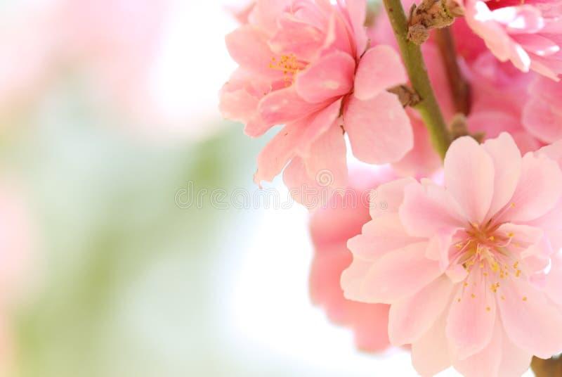 Download Flor da ameixa imagem de stock. Imagem de fundo, flowerbed - 10067319