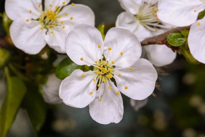 Flor da ameixa da flor da mola imagens de stock royalty free
