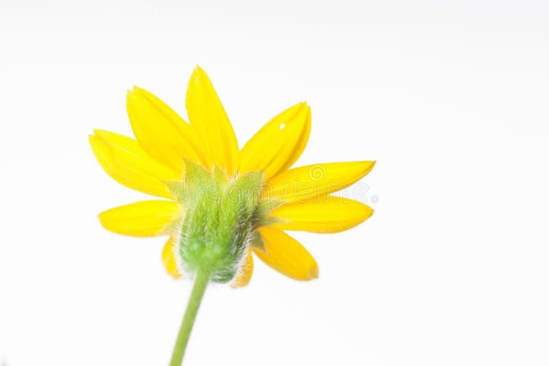 Flor da arnica - a parte traseira isolou-se imagem de stock