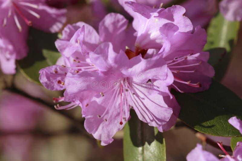 Flor da azálea fotografia de stock