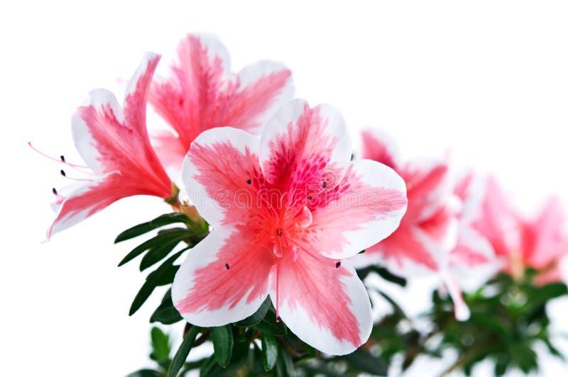 Flor da azálea isolada foto de stock