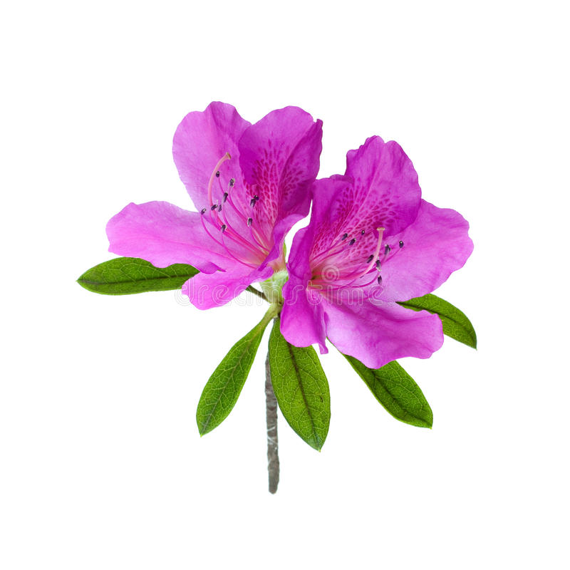 Flor da azálea isolada no branco fotografia de stock