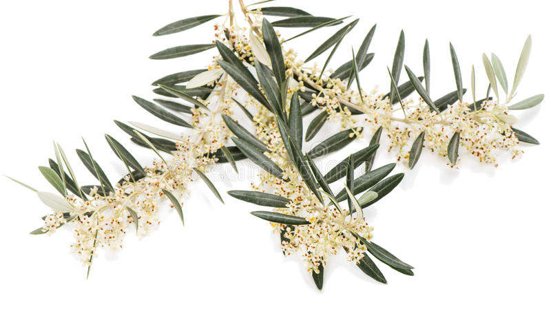 Flor da azeitona foto de stock