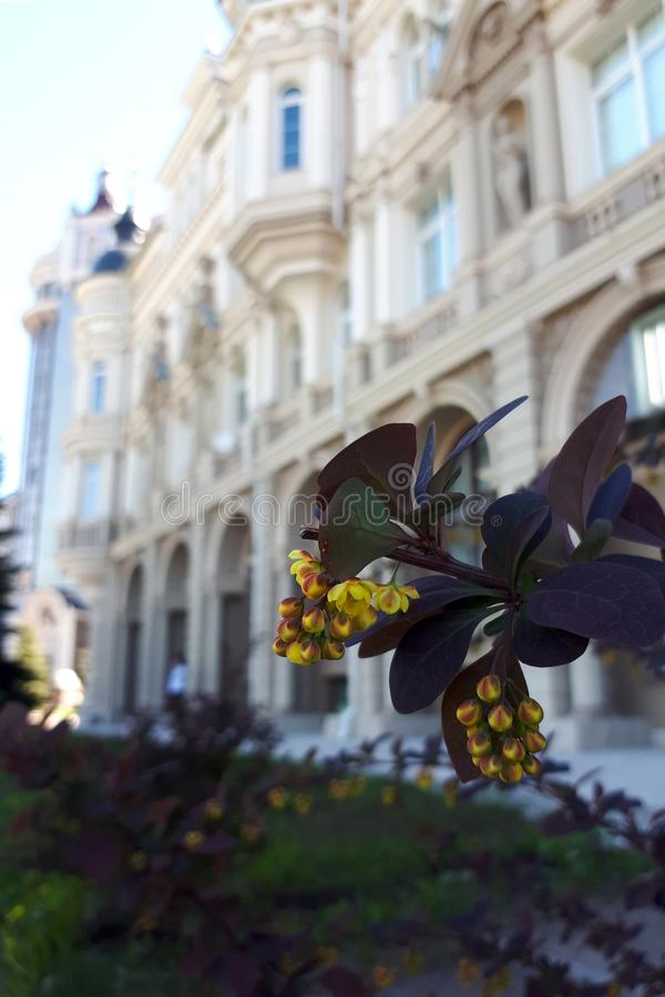 Flor da bérberis no fundo de uma fachada bonita de uma construção antiga ao estilo de Provence foto de stock royalty free