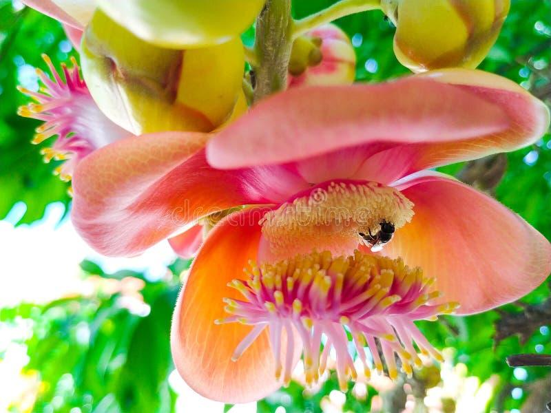 Flor da bala de canhão com uma abelha imagens de stock royalty free