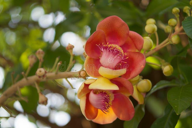 A flor da bala de canhão ou a árvore do Sal com borrão saem do fundo imagens de stock