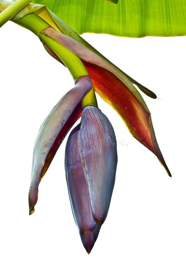 Flor da banana fotografia de stock royalty free