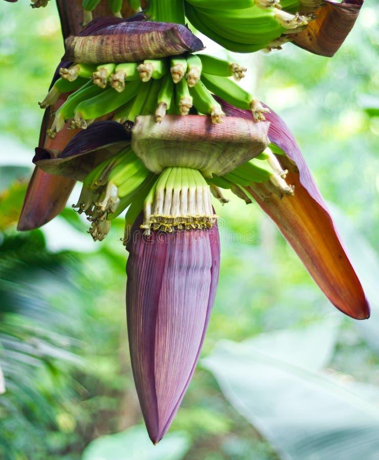 Flor da banana fotografia de stock
