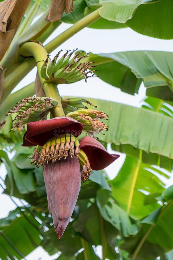 A flor da banana floresce a suspensão em uma árvore de banana fotos de stock