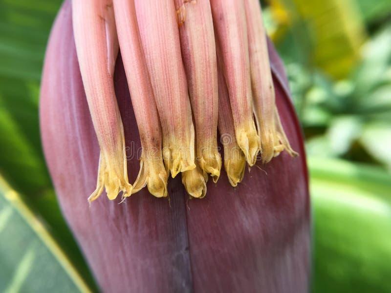 Flor da banana - macro foto de stock