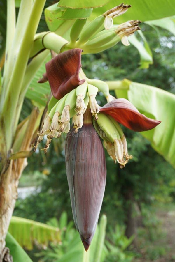 Flor da banana no jardim da natureza fotografia de stock