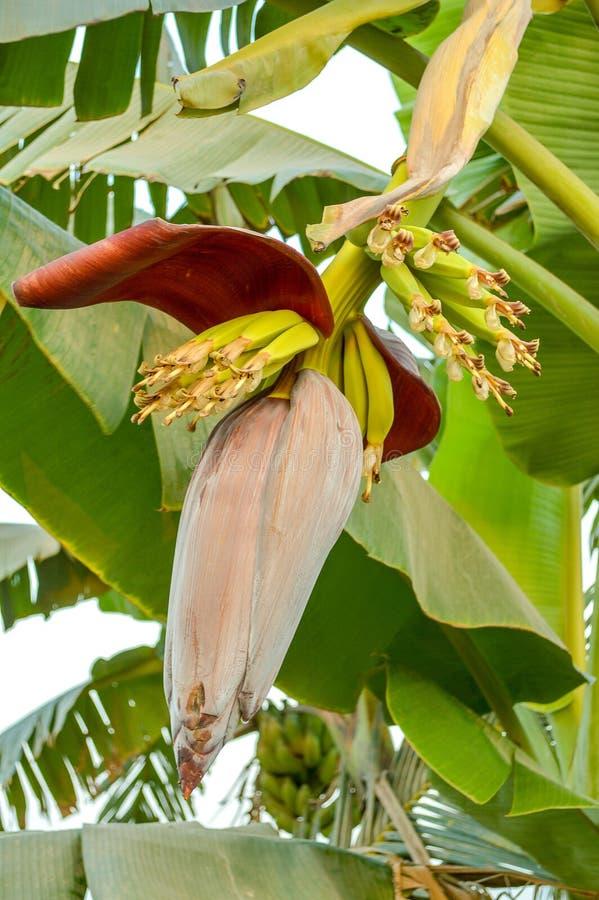 Flor da banana no jardim da natureza foto de stock