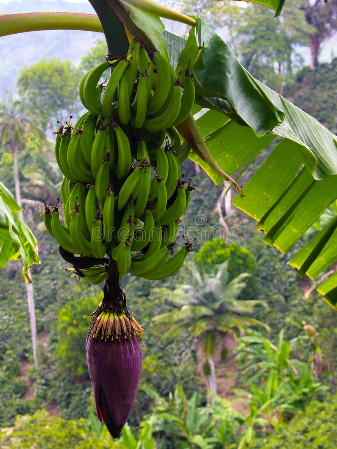 Flor da banana Uma plantação em uma exploração agrícola orgânica imagem de stock royalty free