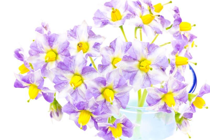 Flor da batata imagens de stock royalty free