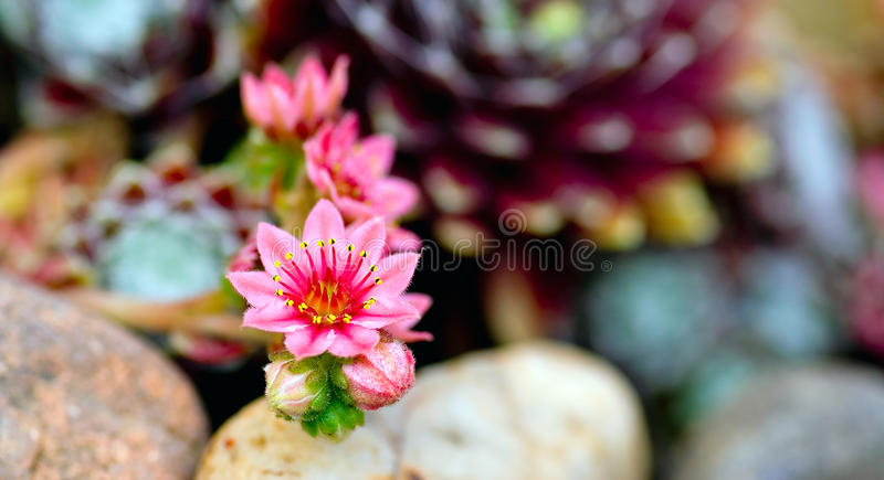 Flor da beleza do houseleek do cobweb fotografia de stock