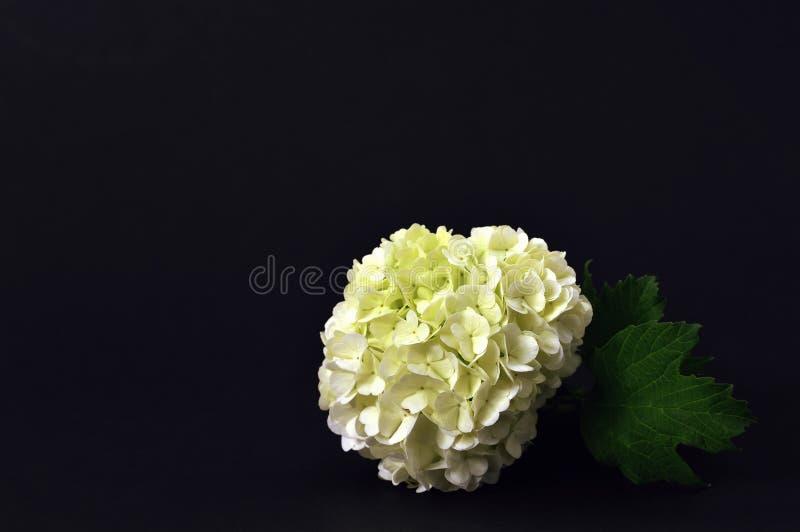 Flor da bola de neve no fundo escuro imagens de stock royalty free
