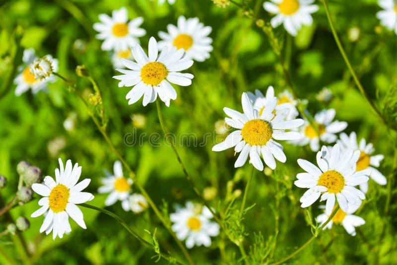 Flor da camomila com fundo verde Tiro macro sobre uma flor branca da camomila com fundo verde no jardim foto de stock royalty free