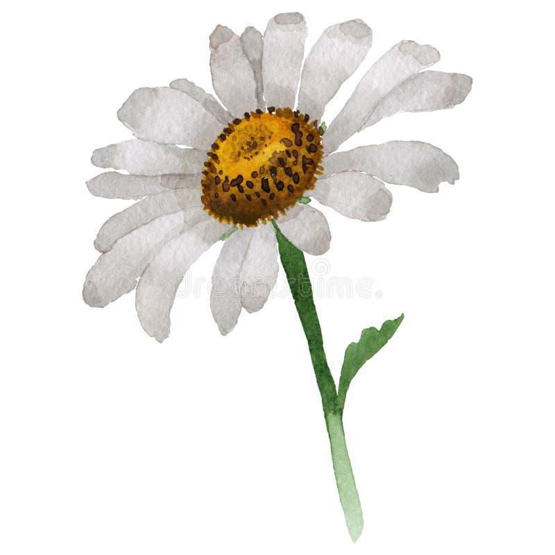 Flor da camomila do Wildflower em um estilo da aquarela isolada ilustração royalty free